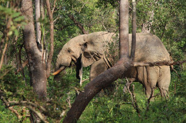 Wild elephant in Ghana
